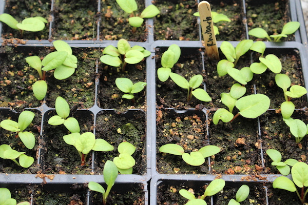 A Tray of young rhubarb seedlings, started from seed a few weeks earlier.