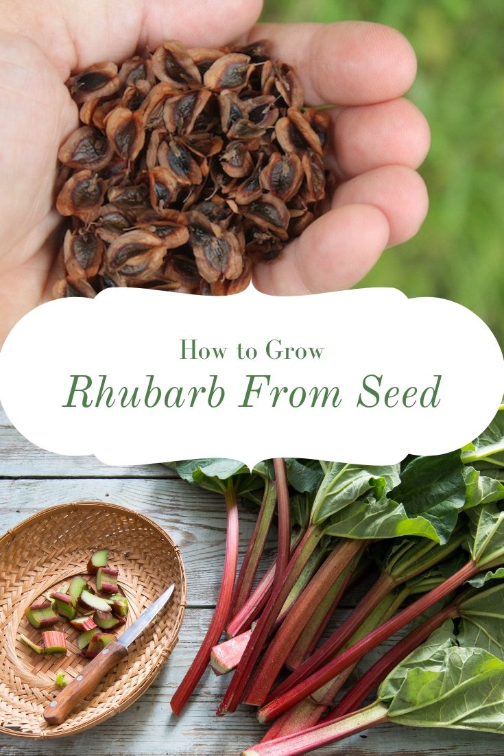 How to Grow Rhubarb from Seed ~ While rhubarb is often propagated from root divisions, growing rhubarb from seed is a much more economical method.  Many commercial rhubarb plants available from nursery catalogs are just seedlings grown out for a year or two.  If you're patient, it's easy enough to grow hundreds of rhubarb seedlings for the price of one nursery rhubarb plant. #rhubarb #growingrhubarb #gardening #organicgardening #foodgardening #howtogrow #vegetablegardening #gardeningtips #homesteading #homestead #selfreliant