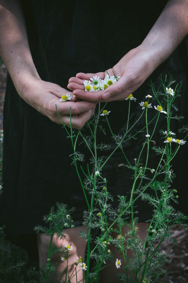 Close up of a woman's hands picking chamomile flowers.