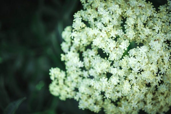 close up of an elderflower flower cluster