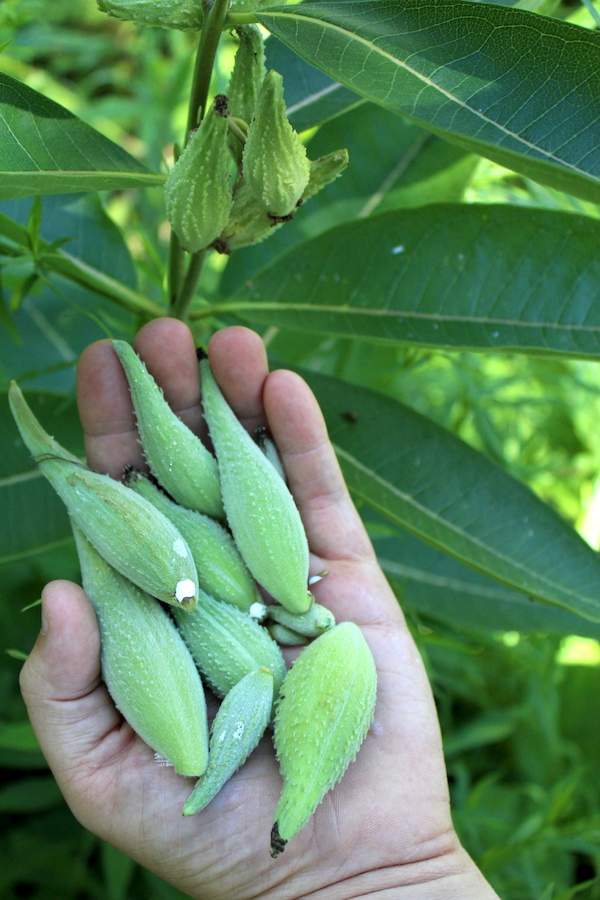handful of milkweed seed pods