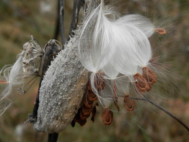 Milkweed seed pod with ripe seed