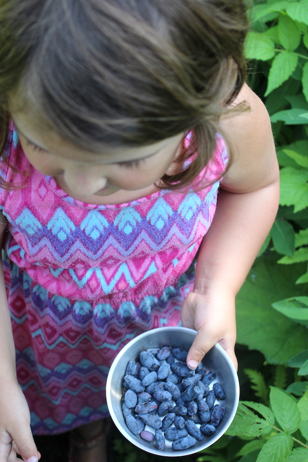 A child picking honeyberries (haskap berries)
