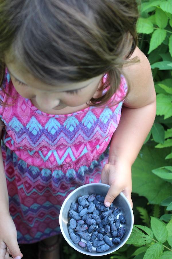 A child picking honeyberries (haskap berries)