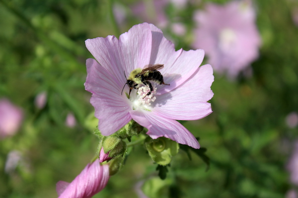 A native bee on a wild marshmallow plant growing in my blueberry bed.