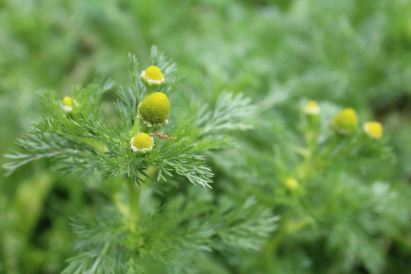 closeup of pineapple weed flowers