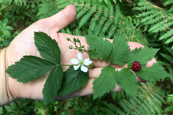 Ripe Red Blackberries (Rubus pubescens) and immature dewberries