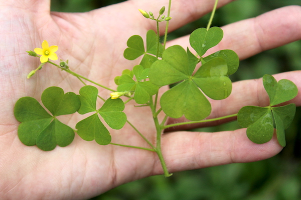 A wood sorrel plant held in my hand, this edible weed was harvested from the garden and then promptly consumed on the spot.