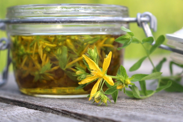 Making St. Johns Wort Oil by infusing flowering tops into olive oil