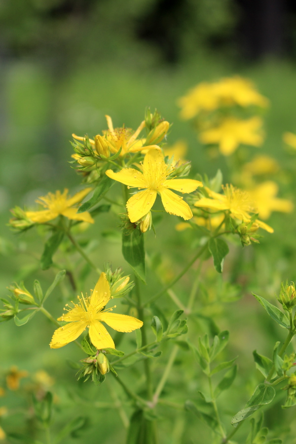 The St. Johns Wort Plant and it's Flowering Tops
