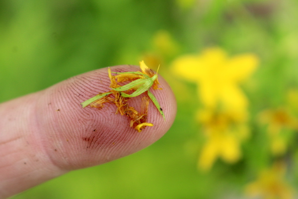 Stain from the blossoms of the St. Johns Wort Plant turns the fingers red or purple.