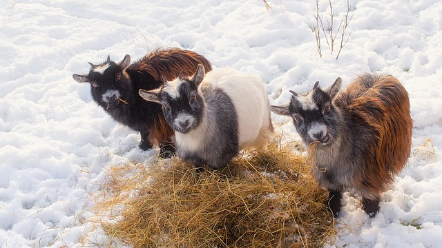 Goats eating hay in the snow