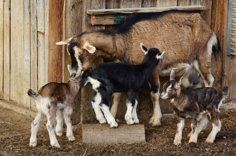 Mother goat and kids