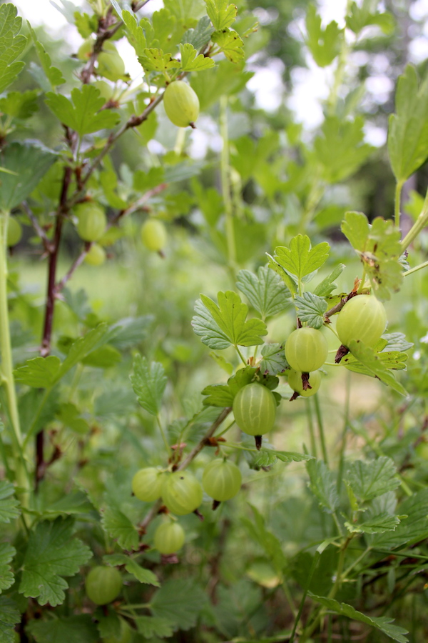 A gooseberry plant covered with bright green fruit, all destined for homemade gooseberry jam.