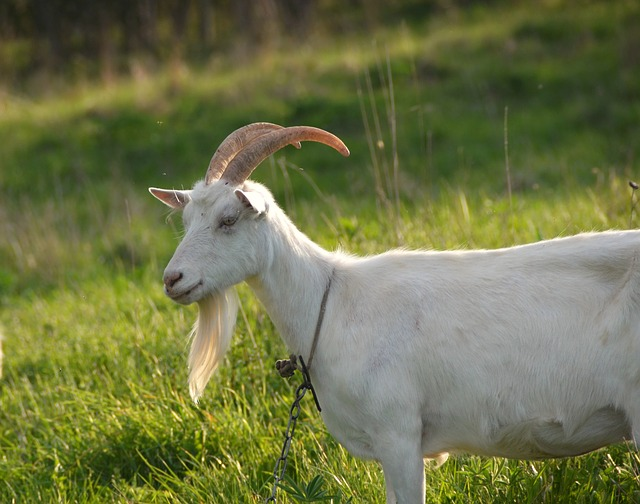 Goat on a Tether ~ A tether system can be really effective for raising goats without fences, especially if they're kept near gardens or orchards.