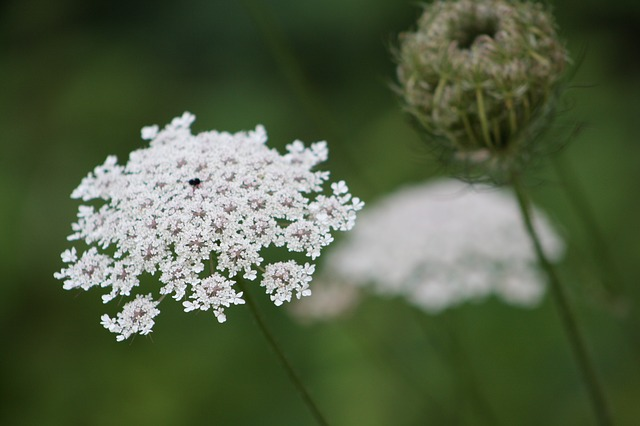 Queen Anne's Lace Flowers ~ This edible weed gets its name from the tiny red flower in the middle, supposedly where queen Anne pricked her finger when making the lacy flowers.