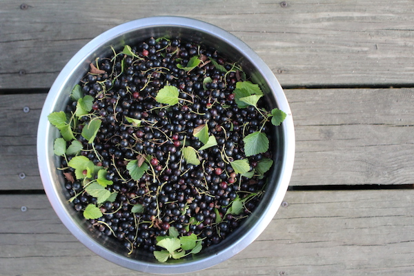 Bowl containing 10lbs of fresh blackcurrants harvested from a single bush.