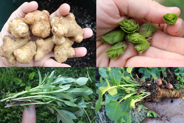 Perennial Vegetables Clockwise from Top Left ~ Sunchokes, Linden Buds, Milkweed and Dock.