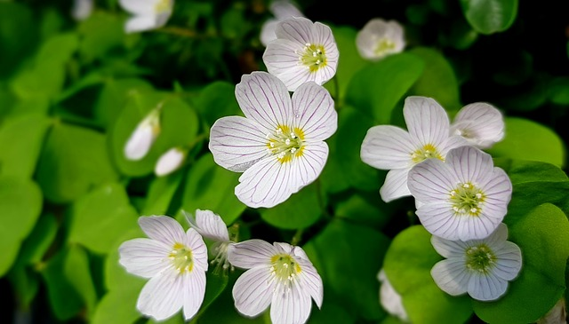 Wood sorrel in bloom