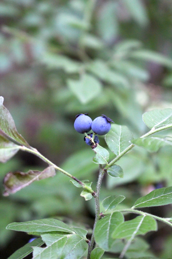 Wild high bush blueberries are a common edible berry in the northeast.