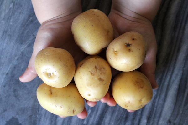 Choosing potatoes for Canning