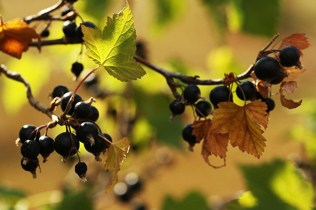 Blackcurrants (Ribes Sp.) are common edible wild berries, especially in cooler climates and shady/wet areas.
