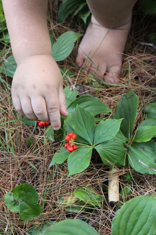 My two year old harvesting tasty wild edible fruits from bunchberry plants.