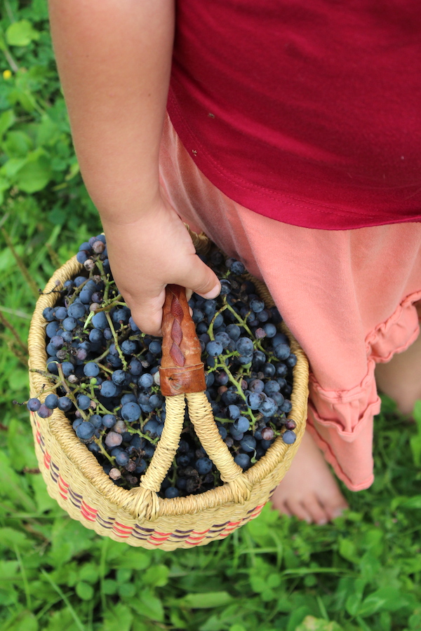 Child with basket of wild grapes
