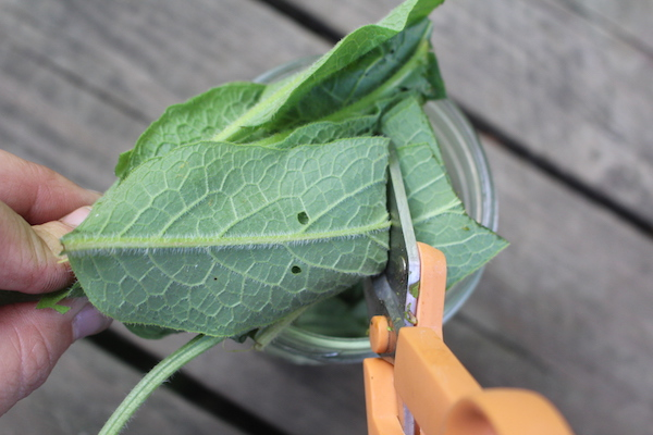 Cutting comfrey leaves to make an infused oil, and eventually a comfrey salve.