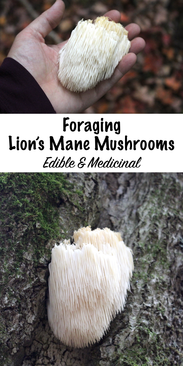 Foraging Lion's Mane Mushrooms ~ Easy to identify, edible and medicinal, lion's mane mushrooms are basically the perfect mushroom. They have no known look alikes, taste delicious and are showing promise as a treatment for cognitive issues such as Alzheimer's and dementia. Learn how to and identify lion's mane mushrooms in the wild! #foraging #mushrooms #wildfood