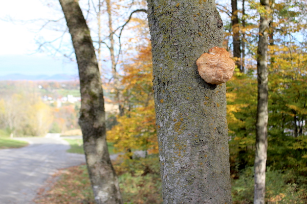 A lion's mane mushroom (past prime) on a dying beech tree by the side of the road in Vermont.