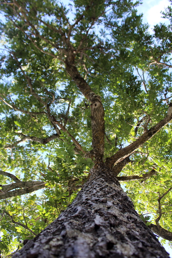 Living Butter nut tree bearing nuts