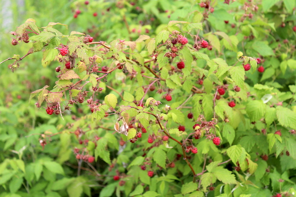 Wild edible berries of raspberries