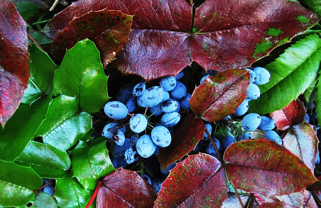 Oregon grape fruits