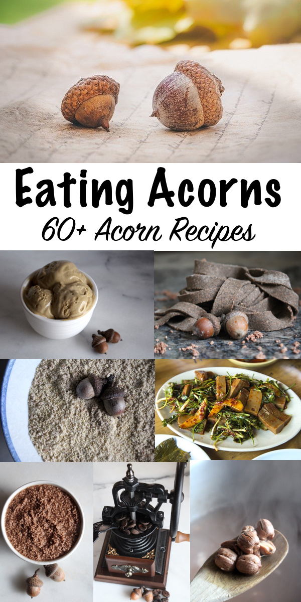 Eating Acorns ~ 60+ Acorn Recipes from Around the World ~ Acorns are an abundant wild food source around the world, and a single tree can produce more than 2,000 pounds of nuts.  Rich in calories and micronutrients, eating acorns was once a part of life for humans everywhere that oaks grow.  #wildfood #foraging