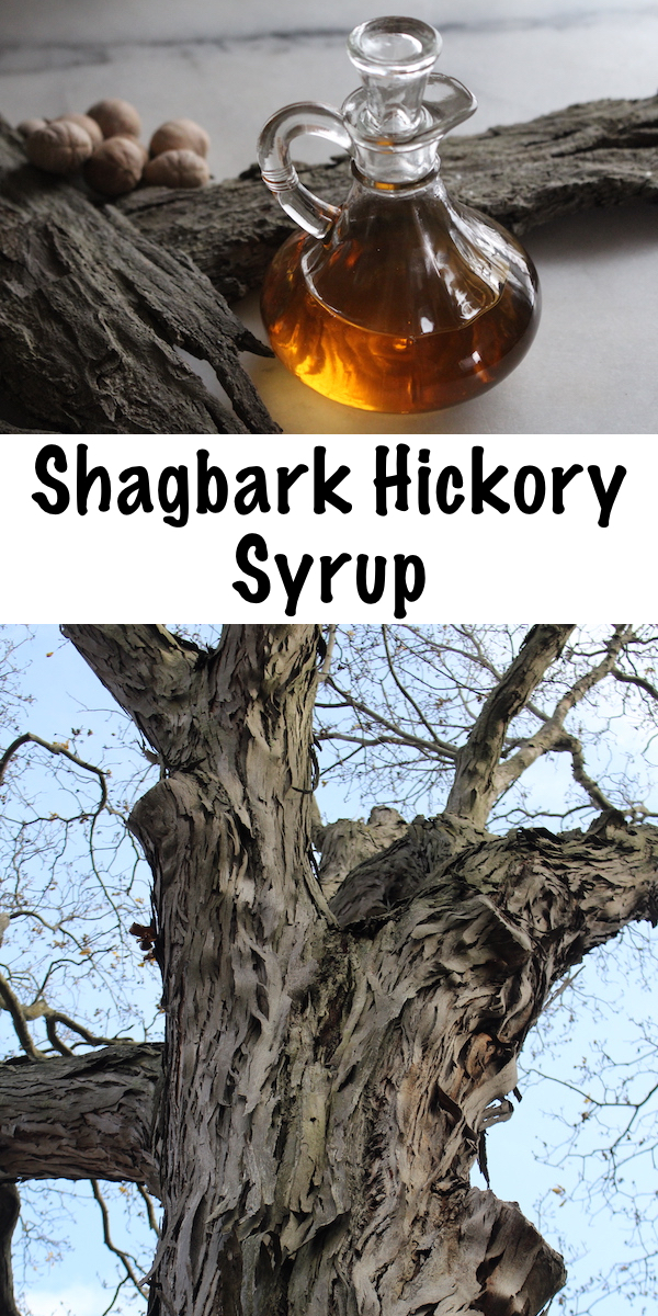 Shagbark Hickory Syrup ~ While most tree syrups like maple or birch are made by tapping trees, hickory syrup is different. Believe it or not, shagbark hickory syrup is made from the bark! #wildfood #foraging