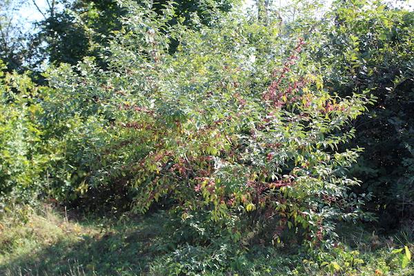 Autumn Olive Bush