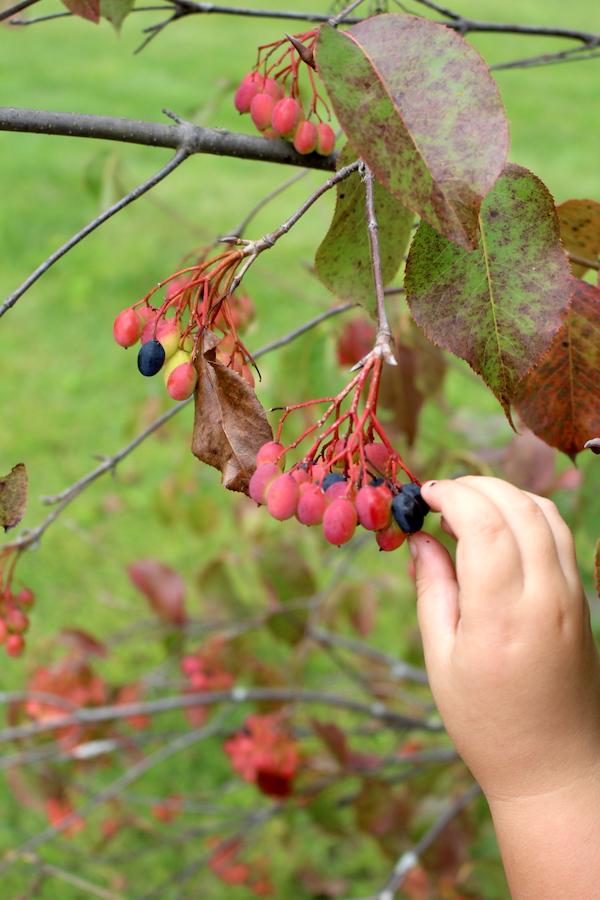 Child Harvesting Nannyberries