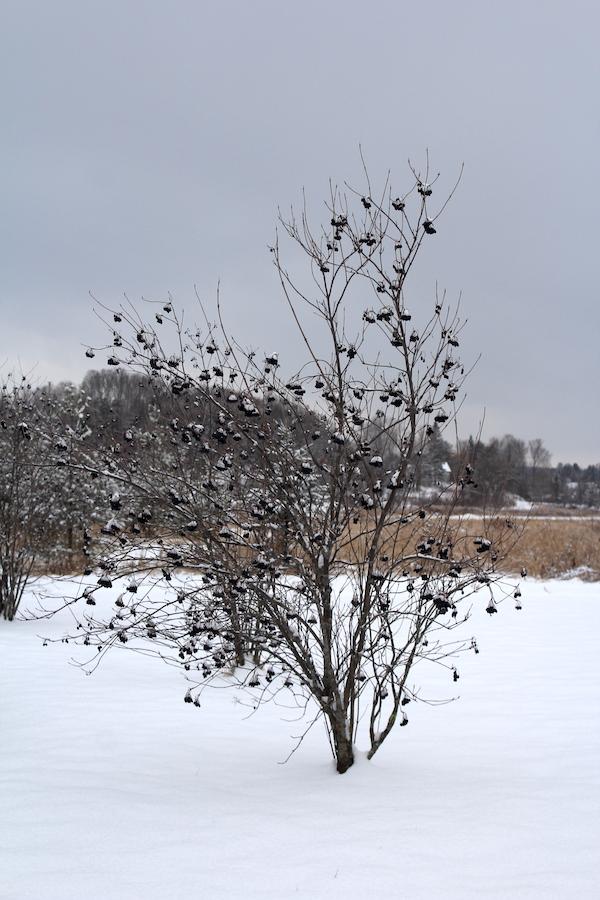 Nannyberry Bush in winter