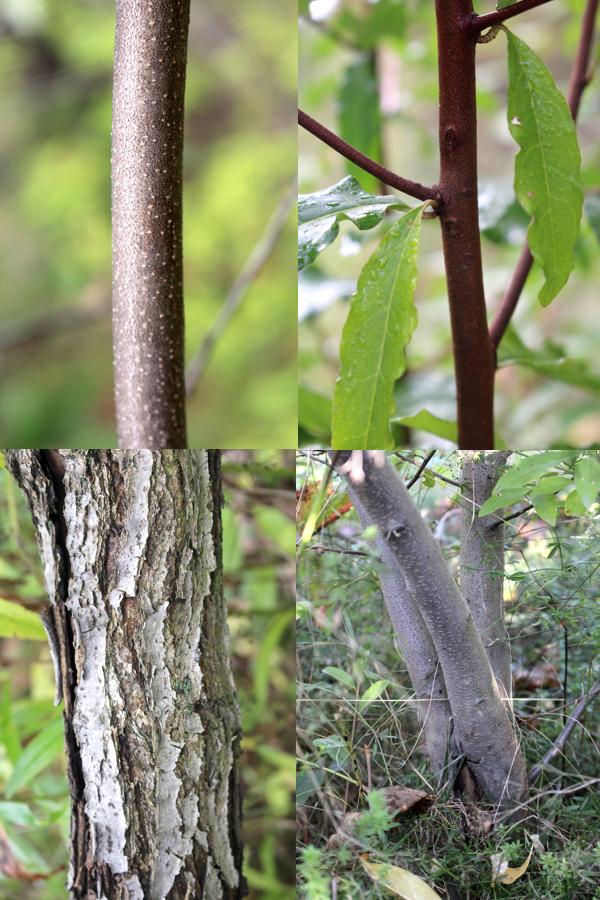 autumn olive bark