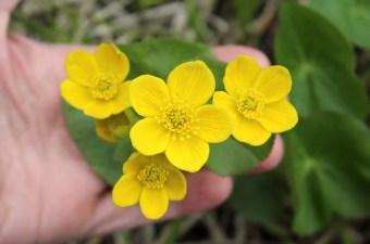 Foraging Marsh Marigold