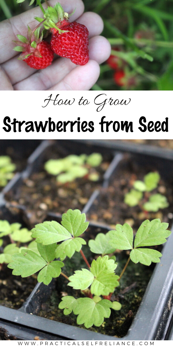 Growing Strawberries from Seed ~ Strawberry plants can be started from seed with a bit of care and planning. This allows you to grow heirloom strawberry varieties and rare alpine strawberries not found in stores.