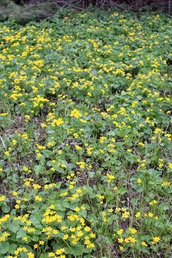 Marsh Marigold Patch