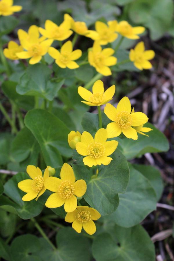 Marsh Marigold plants
