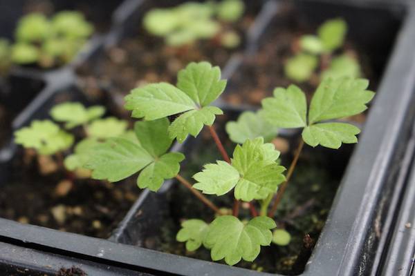 Strawberry Seedling