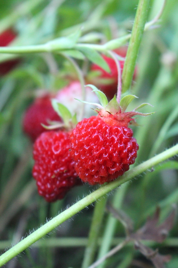 Strawberries grown from seed