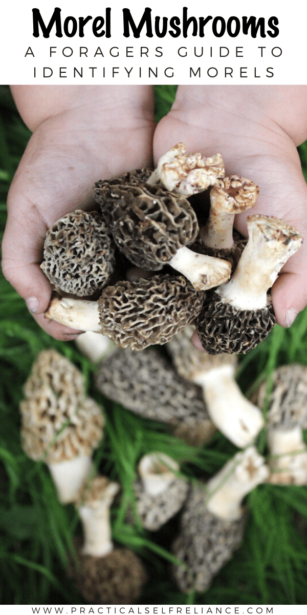 Foraging Morel Mushrooms ~ A beginners guide to identifying morels, and avoiding toxic morel look alikes.