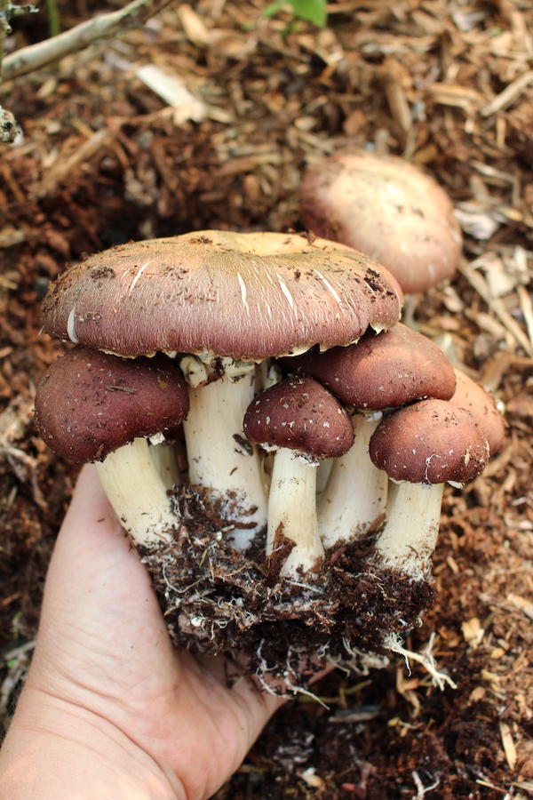 Winecap mushrooms turn woodchips and garden debris into compost, and you can harvest edible mushrooms as a byproduct.