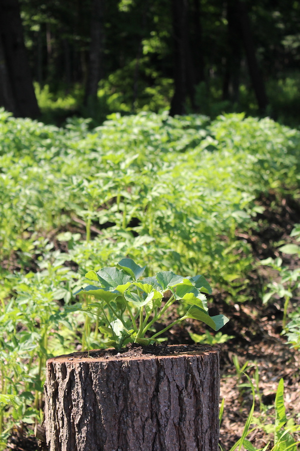 Potatoes are a great crop for survival gardening, at least in theory...