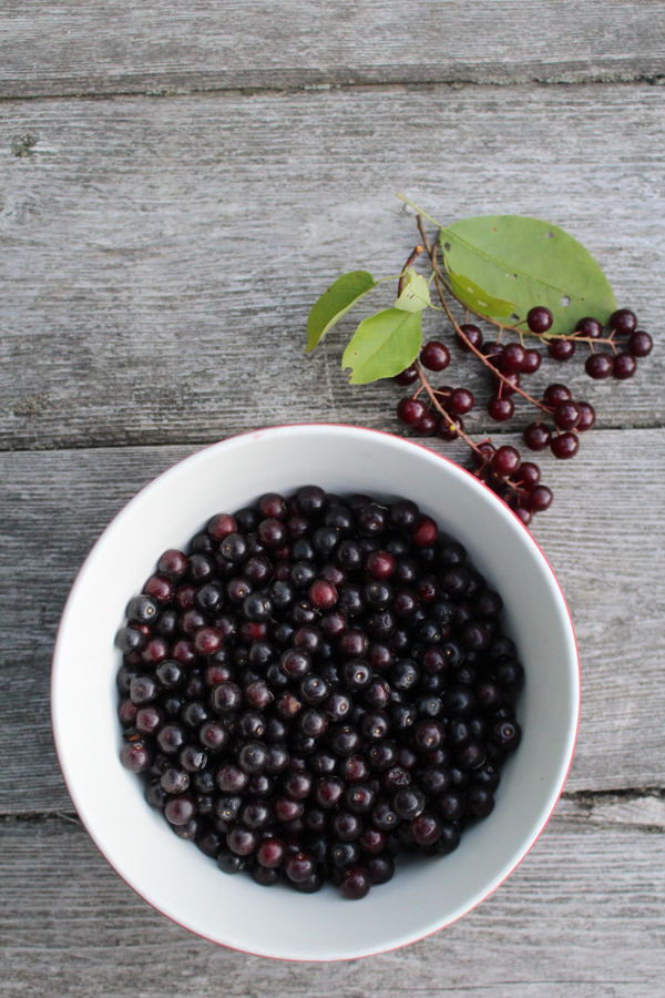 Chokecherry Harvest